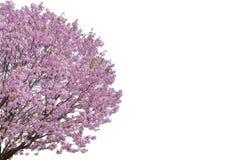 Roze die bloem, de boom van Kersenbloesems op witte achtergrond wordt geïsoleerd stock foto's