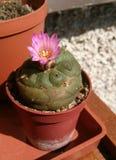 Roze die bloem van cactus op balkon wordt gekweekt stock fotografie