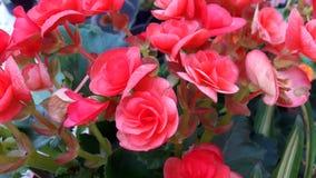Roze die bloemboeket, geboren als struik, in een pot, voor de achtergrond wordt geschikt royalty-vrije stock afbeelding