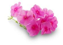Roze die bloemen op de witte achtergrond worden geïsoleerd Stock Afbeelding