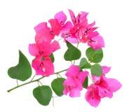 Roze die bougainvilleabloemen op witte achtergrond worden geïsoleerd Stock Foto's