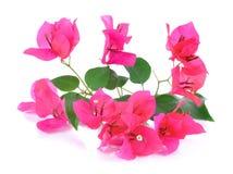 Roze die bougainvilleabloemen op witte achtergrond worden geïsoleerd Royalty-vrije Stock Afbeeldingen
