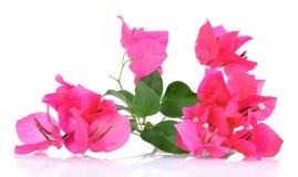 Roze die bougainvilleabloemen op witte achtergrond worden geïsoleerd Stock Fotografie