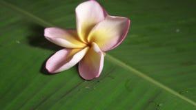 Roze die frangipanibloem als plumeria of lilawadee ook wordt bekend die op banaanblad roteren stock videobeelden