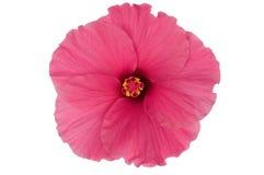 Roze die hibiscusbloem op witte achtergrond wordt geïsoleerde Stock Foto