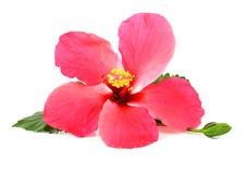 Roze die hibiscusbloem op witte achtergrond wordt geïsoleerde Royalty-vrije Stock Afbeelding