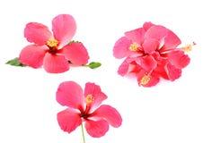 Roze die hibiscusbloem op witte achtergrond wordt geïsoleerde Royalty-vrije Stock Foto