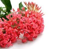 Roze die Ixora-bloem op wit wordt geïsoleerd Royalty-vrije Stock Afbeelding