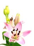 Roze die lelie met bloesem en knoppen op wit worden geïsoleerd, rechtop Stock Afbeeldingen