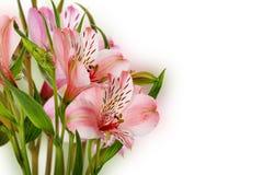 Roze die lelies op de witte achtergrond worden geïsoleerd Royalty-vrije Stock Foto