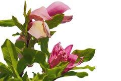 Roze die magnoliabloem op witte achtergrond wordt geïsoleerd royalty-vrije stock fotografie