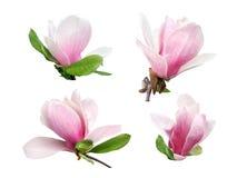 Roze die magnoliabloemen op witte achtergrond worden geïsoleerd royalty-vrije stock foto