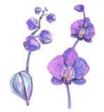 Roze die orchidee op wit wordt geïsoleerd stock illustratie