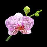 Roze die orchideebloem op een zwarte achtergrond wordt geïsoleerd Stock Fotografie
