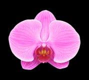 Roze die orchideebloem op zwarte achtergrond wordt geïsoleerd Royalty-vrije Stock Foto