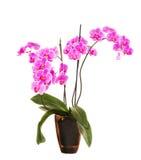 Roze die orchideebloemen op witte achtergrond worden geïsoleerd Stock Afbeelding