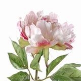 Roze die pioen op wit wordt geïsoleerdt Stock Foto's