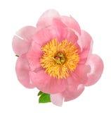 Roze die pioenbloesem op wit wordt geïsoleerd Het hoofd van de bloem Stock Foto