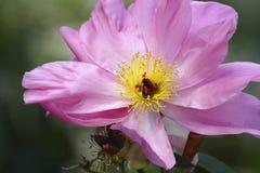 Roze die pioenknop op tak wordt geopend royalty-vrije stock foto