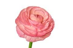 Roze die ranunculus op witte achtergrond wordt geïsoleerd Royalty-vrije Stock Foto