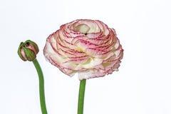 Roze die ranunculus op witte achtergrond wordt geïsoleerd Royalty-vrije Stock Afbeeldingen
