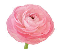 Roze die ranunculus op witte achtergrond wordt geïsoleerd Stock Foto's