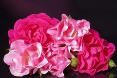 Roze die rozen met knoppen op zwarte achtergrond worden geïsoleerd Stock Foto