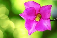 Roze dipladenia royalty-vrije stock afbeeldingen