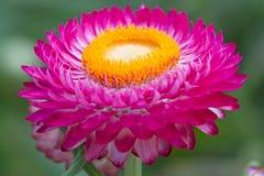 Roze droge Helichrysum stock afbeelding