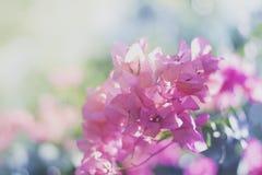 Roze dromerige bloemen in Costa Rica stock afbeeldingen