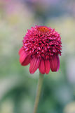 Roze Echinacea Stock Foto's