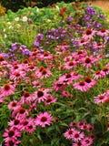 Roze Echinacea-bloemen bij voorzijde van de Engelse grens van de plattelandshuisjetuin royalty-vrije stock fotografie