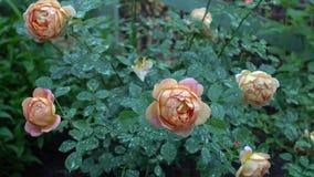 Roze en beige rozen in Engelse tuin Groene aardachtergrond met plaats voor tekstzomer Royalty-vrije Stock Afbeelding
