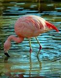 Roze en Blauw Stock Foto