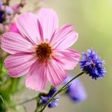 Roze en Blauwe Bloem Stock Afbeeldingen
