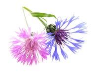Roze en blauwe korenbloem stock fotografie