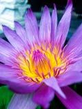 Roze en gele bloem Stock Foto