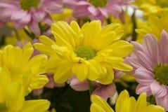 Roze en Gele Chrysanten Royalty-vrije Stock Foto's