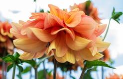 Roze en gele dahlia Stock Fotografie