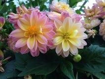 Roze en Gele Dahlia's Royalty-vrije Stock Fotografie