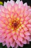 Roze en gele dahliabloem Royalty-vrije Stock Foto's