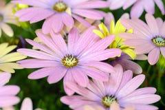 Roze en Gele madeliefjes Stock Foto