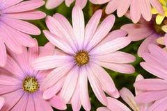 Roze en Gele madeliefjes Royalty-vrije Stock Afbeelding