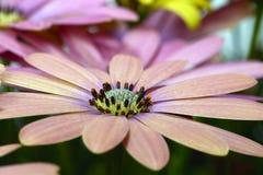 Roze en gele madeliefjesmacro Royalty-vrije Stock Afbeeldingen