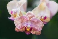Roze en Gele Orchideeën royalty-vrije stock fotografie