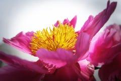 Roze en gele pioenbloem Stock Afbeeldingen