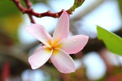 Roze en gele Plumeria Royalty-vrije Stock Foto's