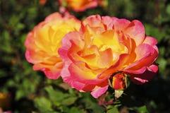 Roze en Gele Rose Blooming stock foto's