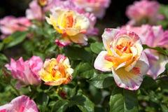 Roze en Gele Rozen stock foto's