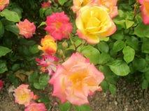 Roze en gele rozen 1 stock foto